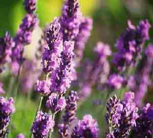 Op lavandula twickel purple